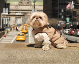 Chewie in the Central Park Pups Park Avenue Peacoat