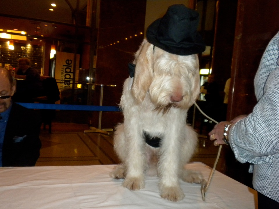 Check out this handsome Italian Spinone in his top hat at Hotel Pennsylvania
